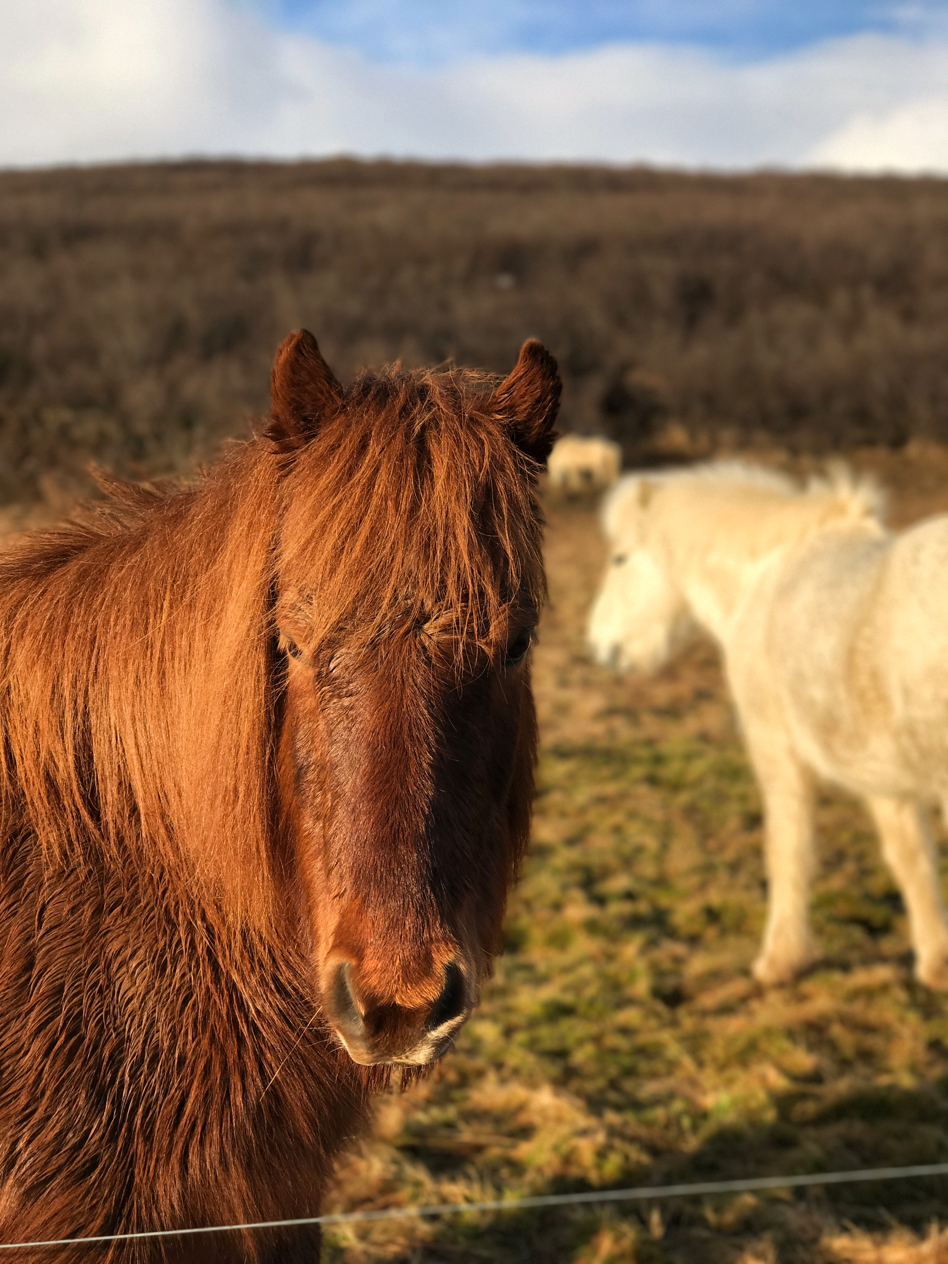 Icelandic Horses (iPhone 7 Plus)